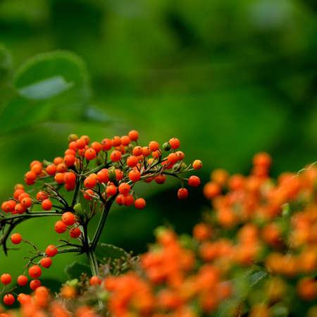 Wild fruits, shot with  narrow focus. Stock Photo