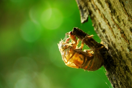 cicada casting off its skin