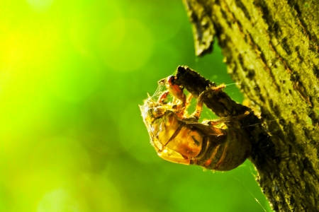 Golden-Changed cicada shell which leave on the stree Stock Photo