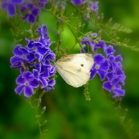 Close-up of a rapae on purple flowers Stock Photo