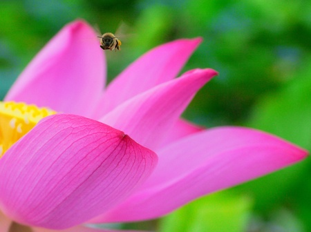 A bee flying over Lotus