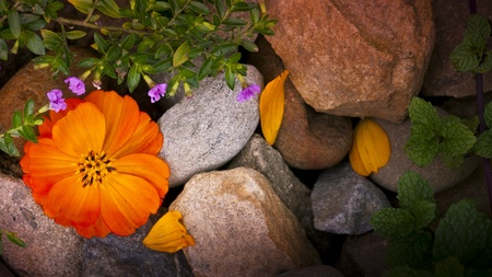 Cosmos flower with rock