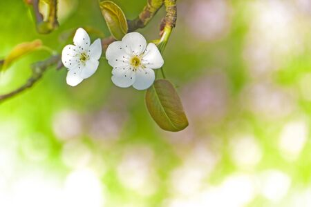 Background of spring flowers  Pear Blossom