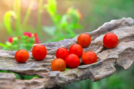 Just plucked organic tomatoes  Stock Photo