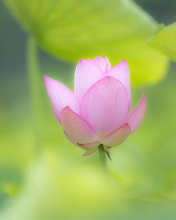 Lotus against green foliage Shallow DOF