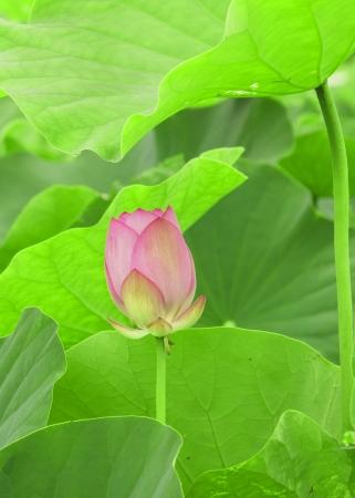 Lotus against green foliage Stock Photo