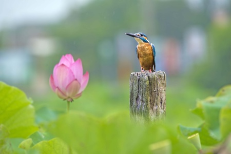 Kingfisher sitting on branch of lotus field