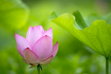 a pink lotus flower bud against green foliage
