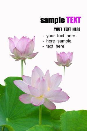 Lotus isolated on white background Stock Photo