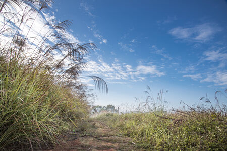 Countryside landscape with miscanthus under bluesky