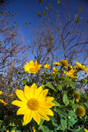 SUNFLOWER IN THE FIELD WITH BLUE SKY