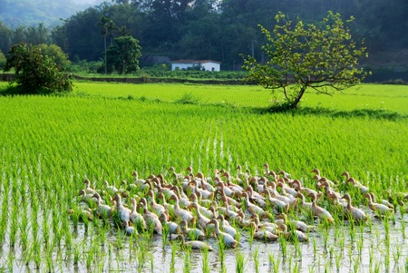Eenden foerageren op de rijstvelden, Taiwan