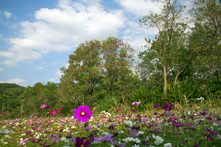 Wild cosmos blossom in field with clear sky