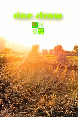 the backlighting: Paddy field with rice straw under dusk backlighting. the Chinese sample texts is meaning harvest Stock Photo