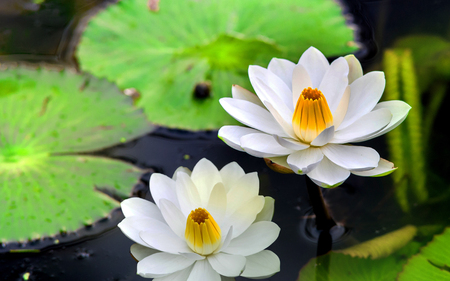 Close up of White Water Lily with green Leaves.