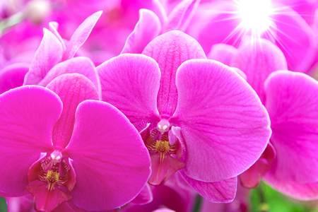 radiance: Beautiful Pink orchid flower with shiny radiance.