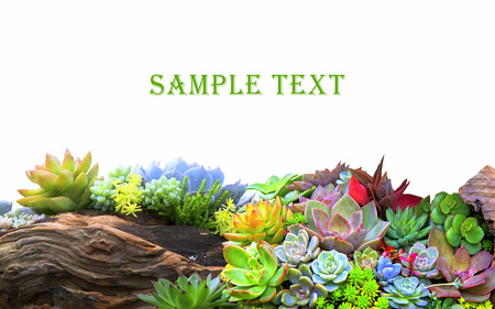 Miniature succulent plants isolated on white.
