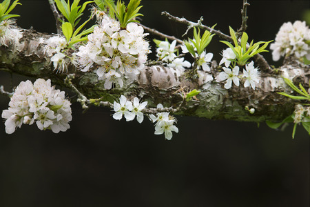 japanese apricot flower: Plum Blossom Prunus mume, The trees flowering in late winter and early spring is highly regarded as a seasonal symbol. Stock Photo
