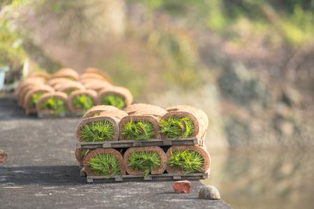 seeding: seedlingroll next on paddy