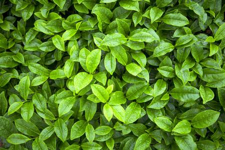 Tea leaves Banque d'images - 57794426