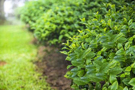 The Tea plantation field shot with short focal depth in rainy morning. Taiwan