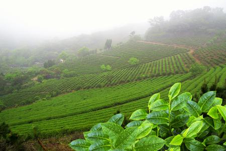 Tea plantation field scenery. Stock Photo