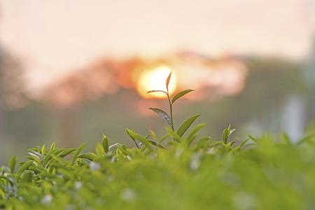 Tea buds Stock fotó