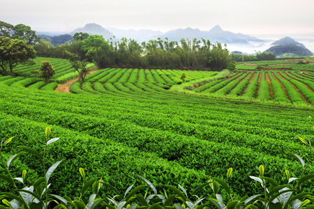Agriculture scene, tea plantation field landscape. Stock fotó