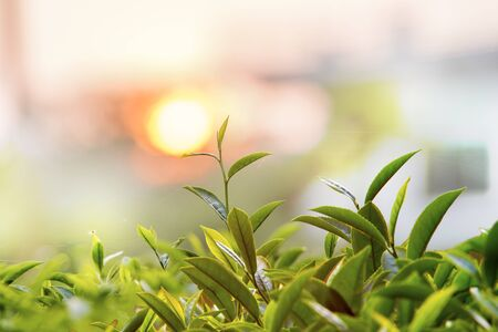 Tea Buds Stockfoto