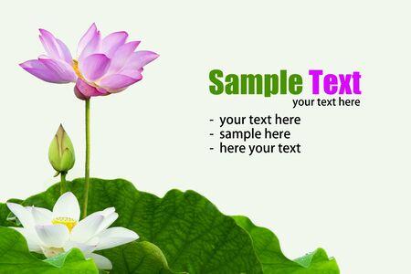 Fleur de Lotus isol? sur fond blanc.  Banque d'images - 58703153