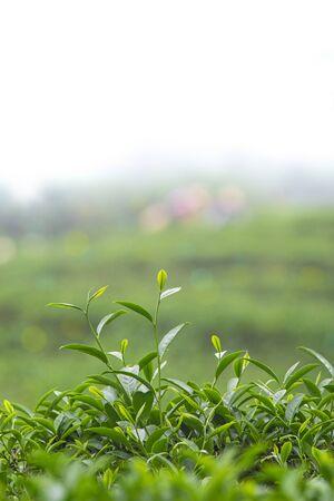 Close up of tea buds