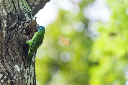 Mullers Barbet pecking a tree hole for brood. Stock Photo