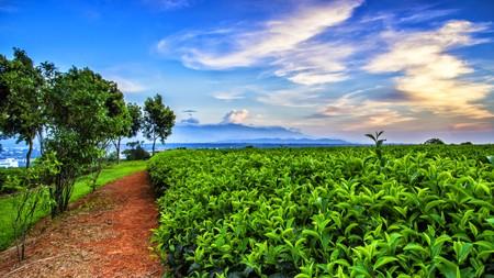 Tea field landscape