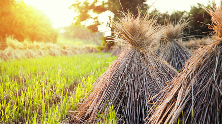 Rice-straw knot on the fieldland with golden sunlight Stock Photo