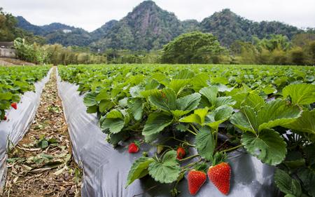 Strawberry field landscape in Taiwan.