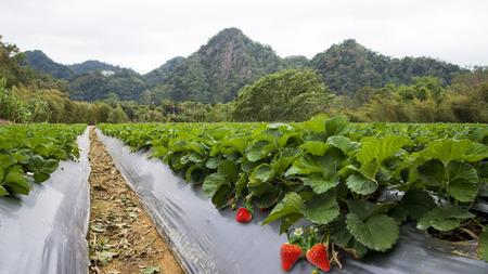 Paysage de champ de fraises à Taïwan. Banque d'images - 69720037