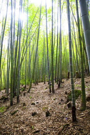 Bamboo forest in a sunny day.