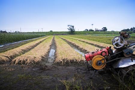 Rangées de plants d'échalote avec une machine de culture dans un paysage agricole. Banque d'images - 70750147