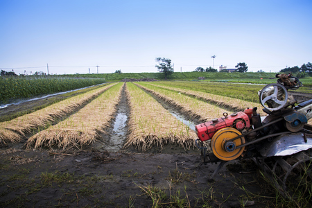 Rows of shallot plants with a cultivation machine in an agricultural landscape.