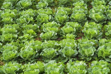 Rows of Organic winter cabbage