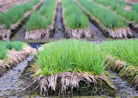 Field of green onion