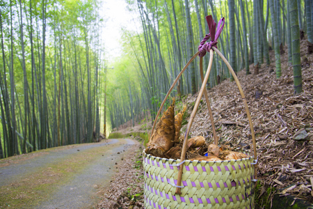 Bamboo shoot harvesting in a bracket