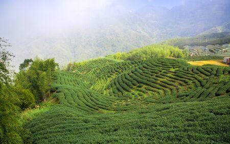 Tea field landscape, Taiwan