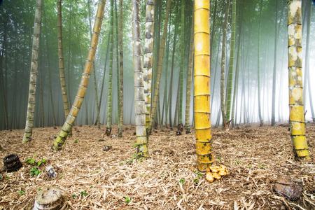 Bamboo grove under heavy veil of fog.