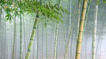 bamboo bosschage onder zware sluier van mist.