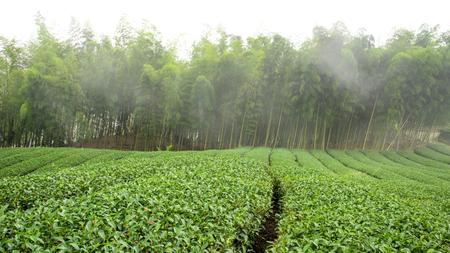 Gebied van de thee in de voorkant van bamboe bos in een mistige dag. Stockfoto