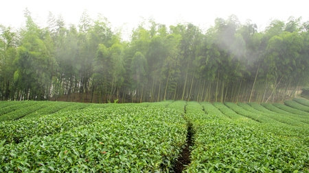 Tea field in front of bamboo forest in a foggy day. Stock Photo