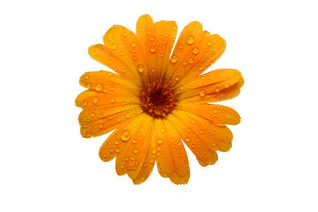 macro of a yellow gerber daisy with water droplets on the petals