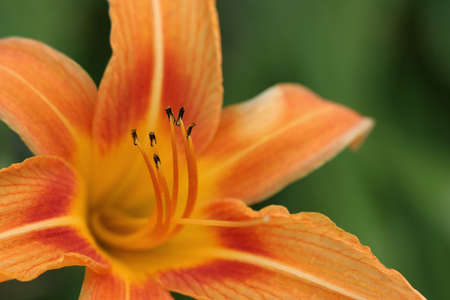 anthers: macro of an orange daylily, shallow depth of field with focus on anthers Stock Photo