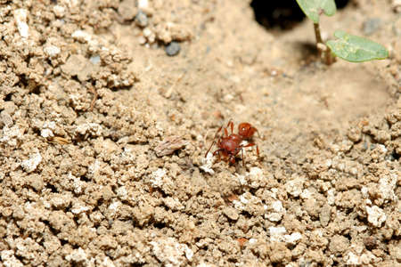 red ant heading out Stock Photo - 217840